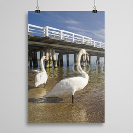 Poster the pier in Sopot with swan